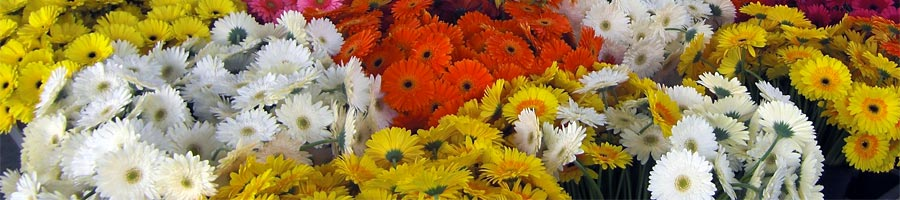 Fresh flowers wholesale supply Flora Export S.G. Israel LTD