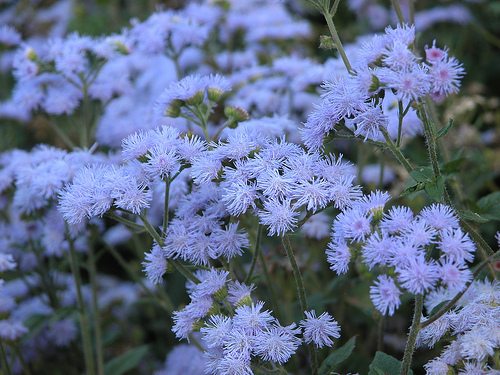 Ageratum fresh cut flowers