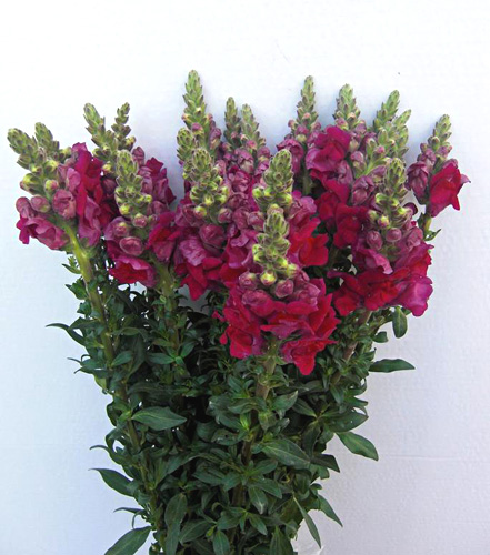 Antirrhinum fresh cut flowers