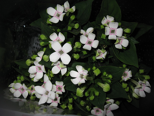 Bouvardia fresh cut flowers