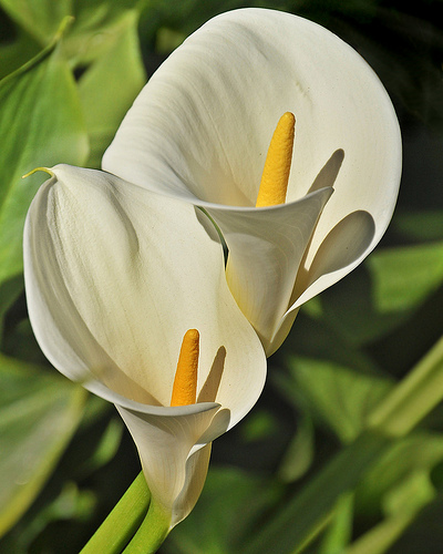 Calla fresh cut flowers