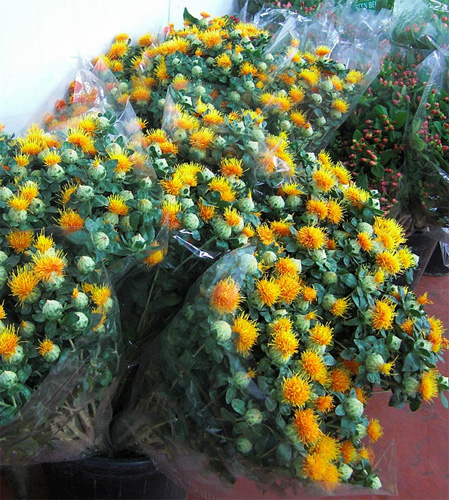 Carthamus fresh cut flowers