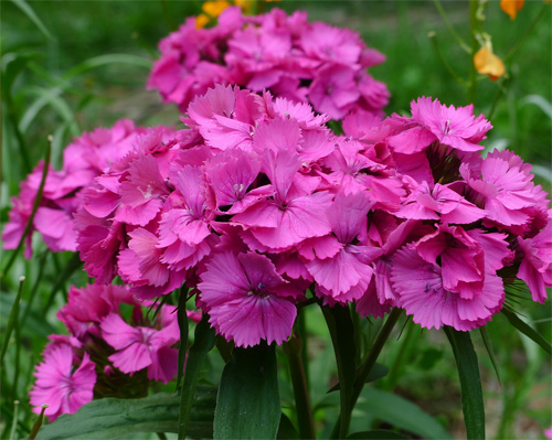 Dianthus fresh cut flowers