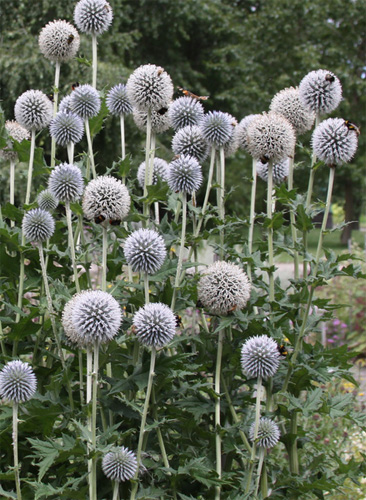 Echinops fresh cut flowers