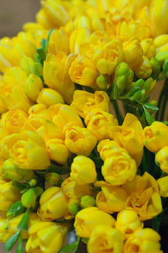 Freesia fresh cut flowers