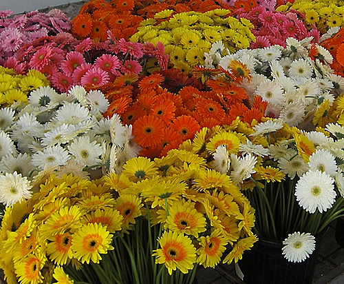 Gerbera standart fresh cut flowers