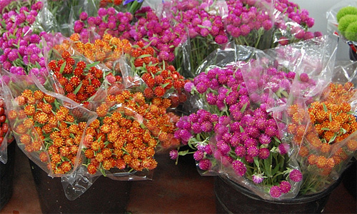 Gomphrena fresh cut flowers