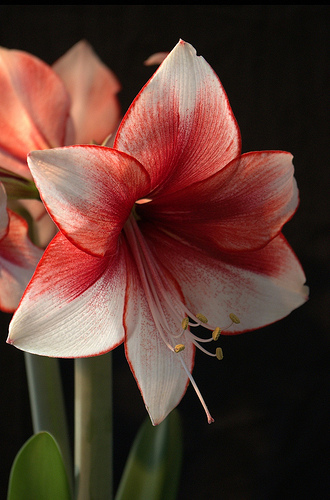 Hippeastrum fresh cut flowers