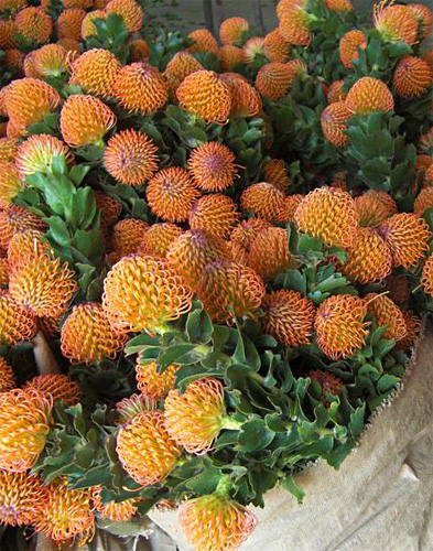 Leucospermum fresh cut flowers