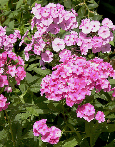 Phlox fresh cut flowers
