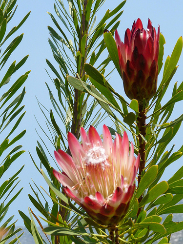 Protea fresh cut flowers