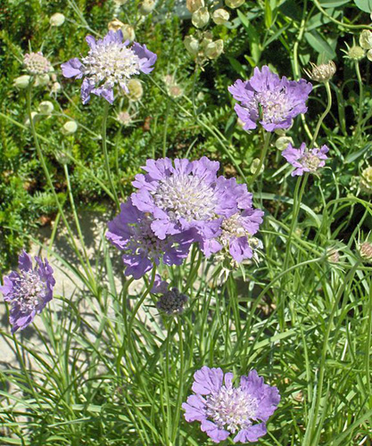 Scabiosa fresh cut flowers