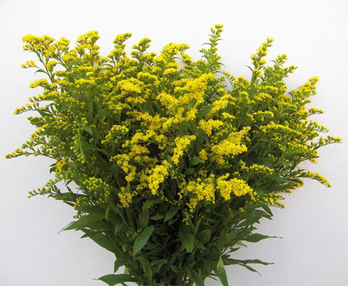 Solidago fresh cut flowers