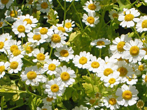 Tanacetum fresh cut flowers