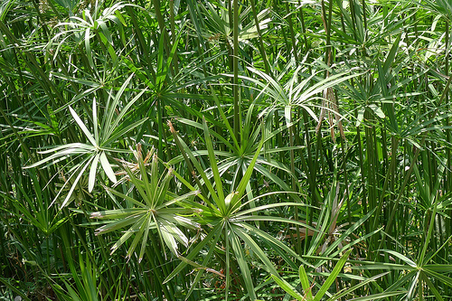Cyperus fresh cut foliage