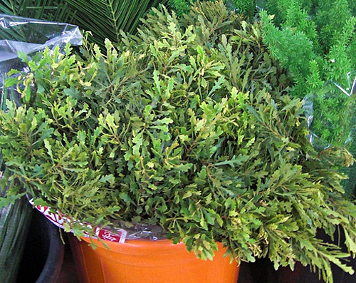 Myrica fresh cut foliage