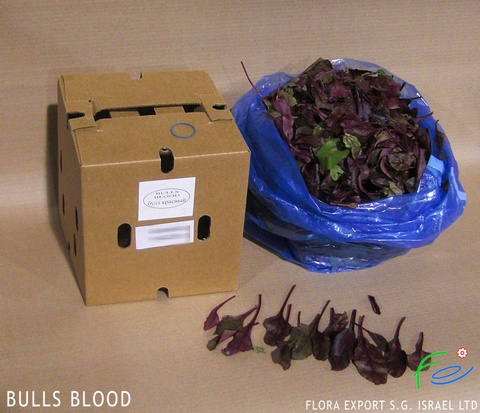 Bulls blood fresh lettuce